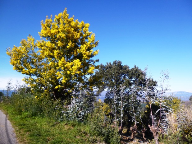 The mimosa tree, as viewed close to Tanneron