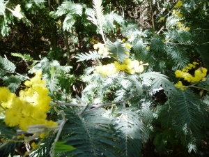 A mimosa flower in full bloom