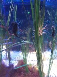 Seahorses (C) K. Hin