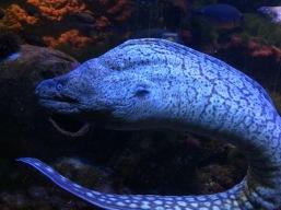 Moray eel (C) K. Hin