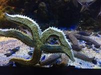 A predatory starfish (C) K. Hin
