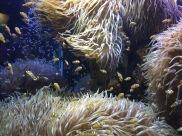 "Sea anemone and ""Nemo"" clownfish (C) K. Hin"