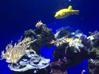 Fugu puffer fish, very poisonous (C) K. Hin