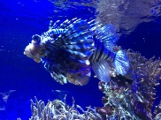 The beautiful but deadly lionfish (C) K. Hin