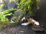 The bizarre axlotl salamander (C) K. Hin