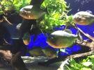 Piranhas (C) K. Hin